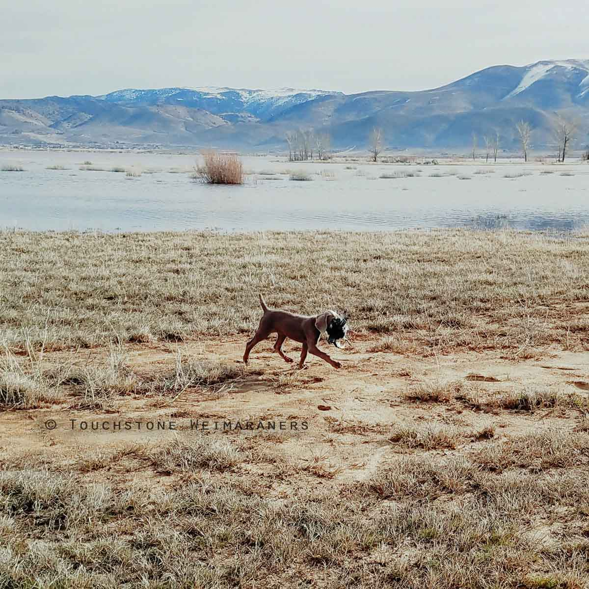 Co-Owned Touchstone Weimaraners